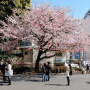 Tokyo kersenbloesem